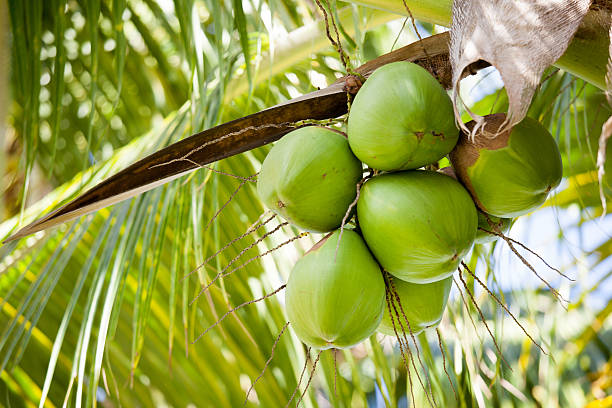 The Dangerous Side Of Your Coconut Tree